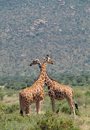 AFW 09 GL0008 01 © Kimball Stock Two Reticulated Giraffes Standing With Necks Crossed In Kenya