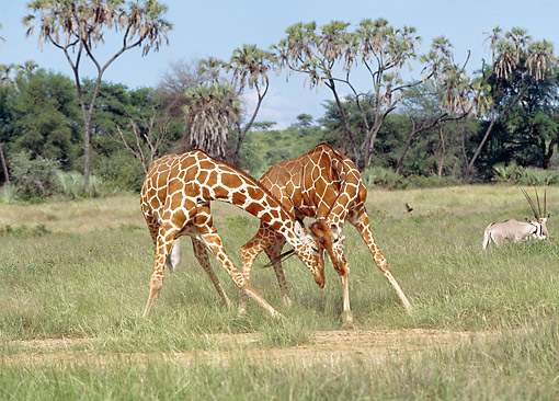 AFW 09 GL0010 01 © Kimball Stock Reticulated Giraffes Playing