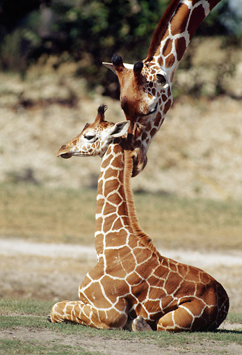 AFW 09 GR0002 01 © Kimball Stock Reticulated Giraffe Nuzzling Calf In Grassland