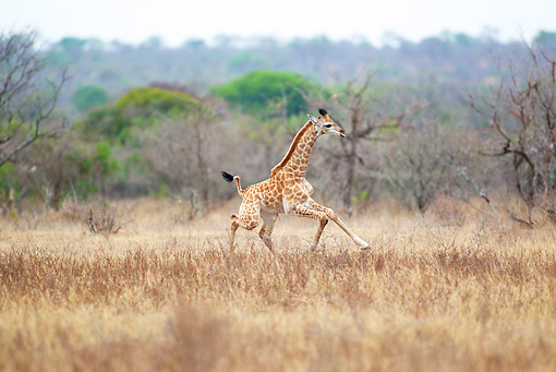 AFW 09 HP0003 01 © Kimball Stock Baby Giraffe Running Through Savanna Kruger National Park, South Africa