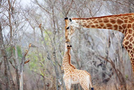 AFW 09 HP0006 01 © Kimball Stock Giraffe Mother Kissing Baby In Savanna Kruger National Park, South Africa