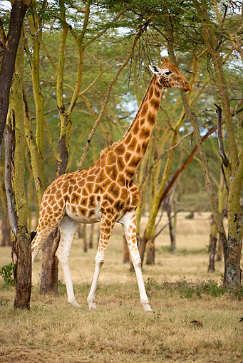 AFW 09 JZ0003 01 © Kimball Stock Reticulated Giraffe Standing On Savanna Kenya
