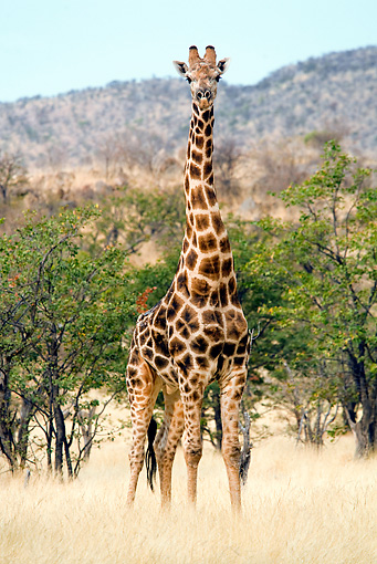 AFW 09 JZ0006 01 © Kimball Stock Portrait Of Namibian Giraffe Standing In Savanna