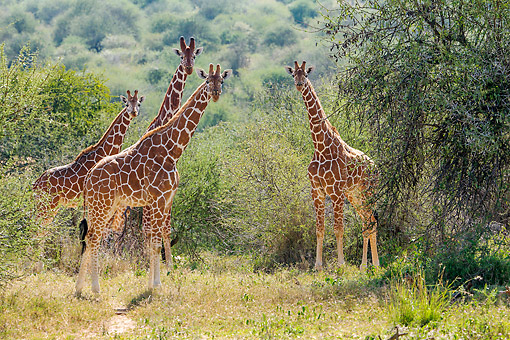 AFW 09 KH0003 01 © Kimball Stock Reticulated Giraffes Standing On Savanna In Kenya