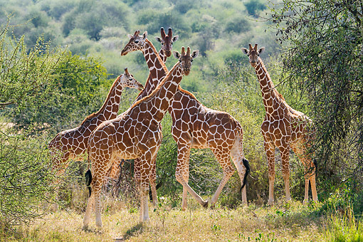 AFW 09 KH0004 01 © Kimball Stock Reticulated Giraffes Standing On Savanna In Kenya