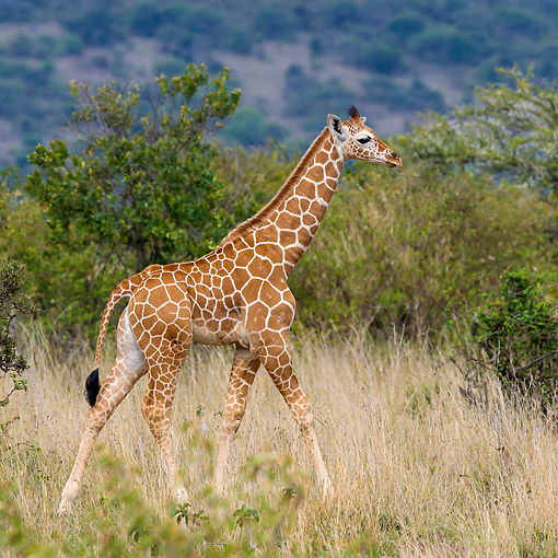 AFW 09 KH0005 01 © Kimball Stock Young Reticulated Giraffe In Kenya