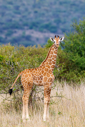 AFW 09 KH0006 01 © Kimball Stock Young Reticulated Giraffe In Kenya