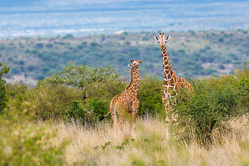 AFW 09 KH0008 01 © Kimball Stock Reticulated Giraffes Standing In Kenya