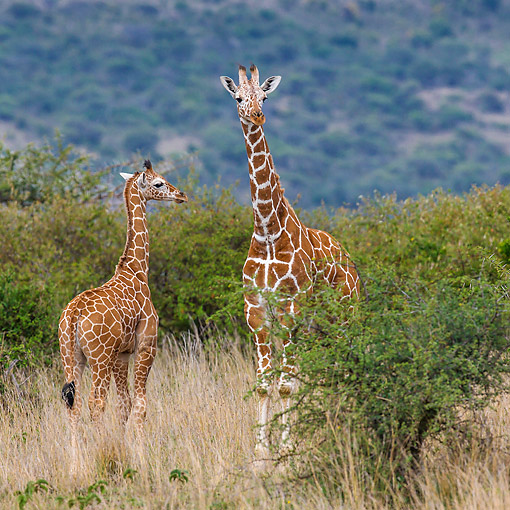AFW 09 KH0009 01 © Kimball Stock Reticulated Giraffes Standing In Kenya