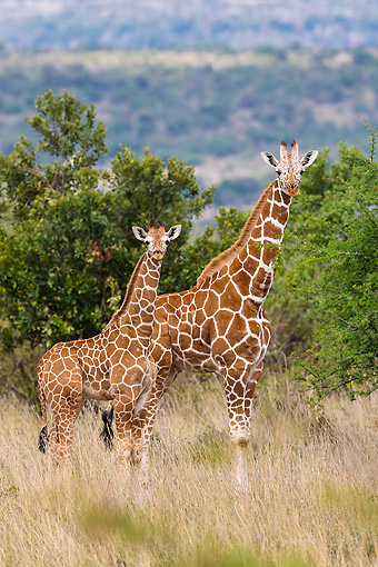 AFW 09 KH0010 01 © Kimball Stock Reticulated Giraffes Standing In Kenya