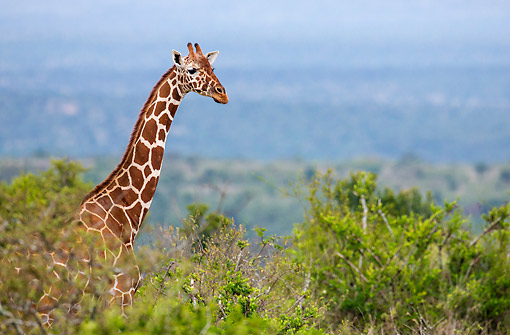 AFW 09 KH0011 01 © Kimball Stock Reticulated Giraffe Standing In Kenya