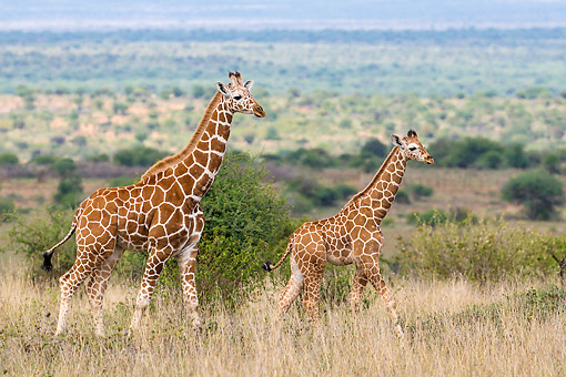 AFW 09 KH0012 01 © Kimball Stock Reticulated Giraffes Walking In Kenya