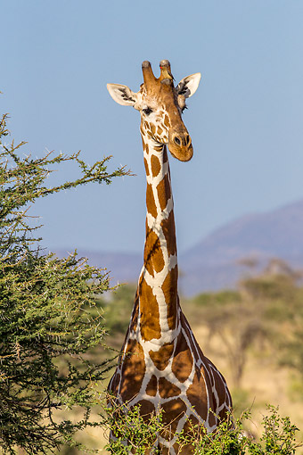 AFW 09 KH0019 01 © Kimball Stock Reticulated Giraffe Standing In Kenya
