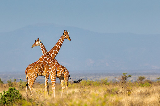 AFW 09 KH0020 01 © Kimball Stock Reticulated Giraffes Standing In Kenya