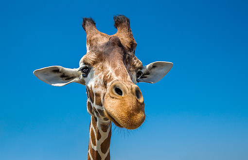 AFW 09 KH0025 01 © Kimball Stock Reticulated Giraffe Portrait In Africa