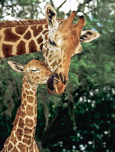 AFW 09 MB0001 01 © Kimball Stock Giraffe Mother And Baby Snuggling