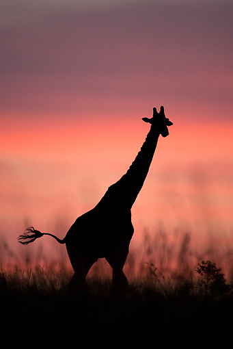 AFW 09 MC0001 01 © Kimball Stock Silhouette Of Masai Giraffe At Dusk Kenya