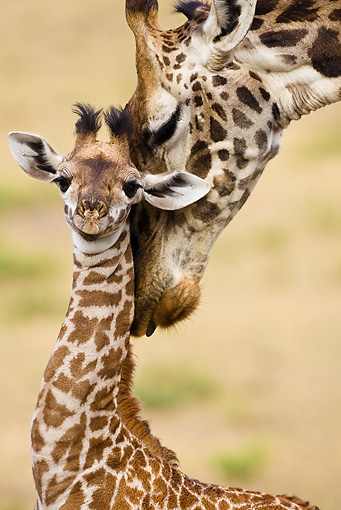 AFW 09 MC0002 01 © Kimball Stock Portrait Of Mother Masai Giraffe Nuzzling Young Kenya