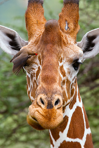 AFW 09 MC0004 01 © Kimball Stock Head Shot Of Reticulated Giraffe With Bird On Eye Kenya