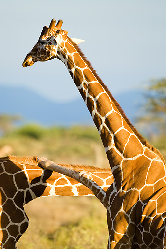 AFW 09 MC0005 01 © Kimball Stock Reticulated Giraffe Males Fighting With Leg Over Neck Kenya