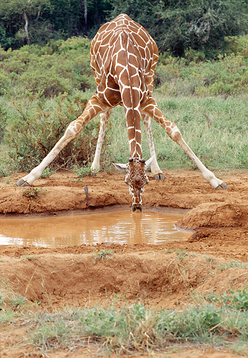 AFW 09 MC0007 01 © Kimball Stock Reticulated Giraffe Drinking From Waterhole Kenya