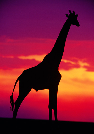 AFW 09 MC0009 01 © Kimball Stock Silhouette Of Masai Giraffe Against Sunset Kenya