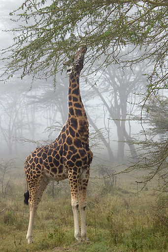 AFW 09 MC0014 01 © Kimball Stock Rothschild Giraffe Male Eating Acacia Branches In Fog Kenya