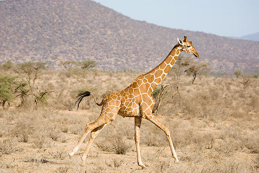 AFW 09 MC0015 01 © Kimball Stock Reticulated Giraffe Running Across Savanna Kenya