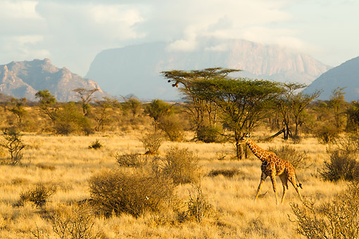 AFW 09 MC0016 01 © Kimball Stock Reticulated Giraffe Male Walking Across Savanna In Kenya
