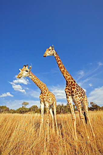 AFW 09 MH0010 01 © Kimball Stock Two South African Giraffes Standing On Savanna Kenya