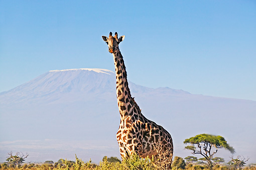 AFW 09 MH0012 01 © Kimball Stock South African Giraffe Standing On Savanna Kenya