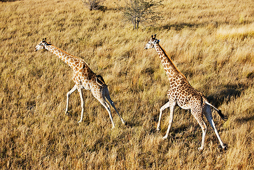 AFW 09 MH0016 01 © Kimball Stock South African Giraffes Running On Savanna Kenya