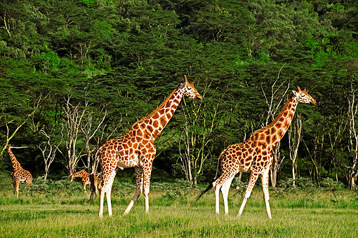AFW 09 MH0017 01 © Kimball Stock Rothschild Giraffes Walking On Savanna Kenya