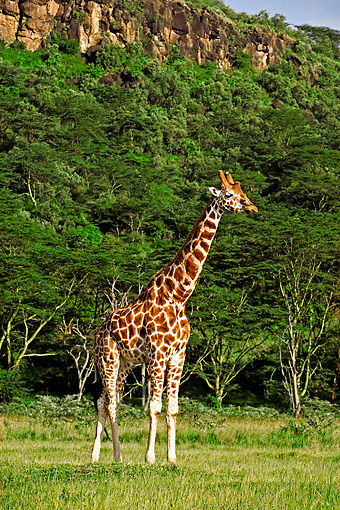 AFW 09 MH0018 01 © Kimball Stock Rothschild Giraffes Standing On Savanna Kenya