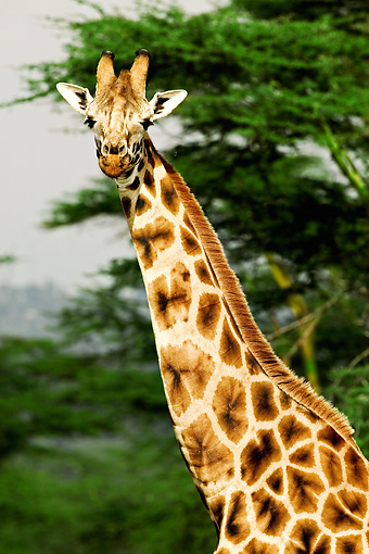 AFW 09 MH0020 01 © Kimball Stock Head Shot Of Rothschild Giraffe Standing On Savanna Kenya