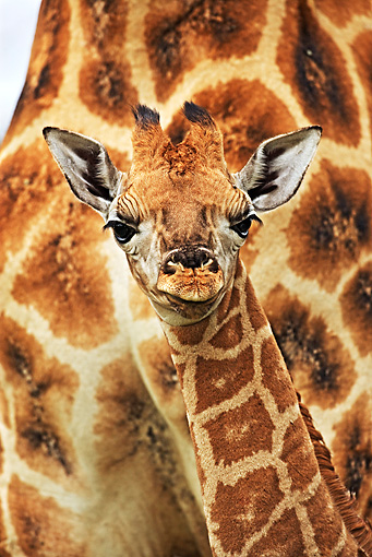 AFW 09 MH0024 01 © Kimball Stock Head Shot Of Rothschild Giraffe Calf Kenya