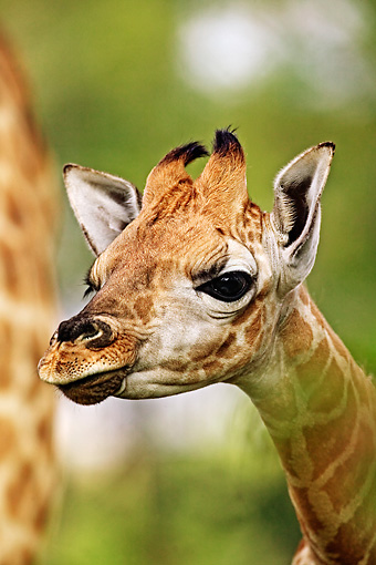 AFW 09 MH0025 01 © Kimball Stock Head Shot Of Rothschild Giraffe Calf Kenya
