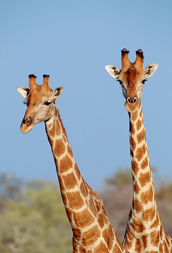 AFW 09 MH0033 01 © Kimball Stock Head Shot Of Two Masai Giraffes In Savanna