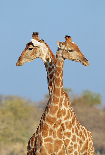 AFW 09 MH0034 01 © Kimball Stock Head Shot Of Two Masai Giraffes In Savanna