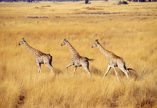 AFW 09 MH0036 01 © Kimball Stock Three Masai Giraffes Running In Savanna