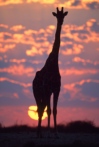 AFW 09 MH0038 01 © Kimball Stock Silhouette Of Masai Giraffe Standing In Savanna At Sunset