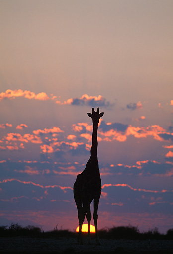 AFW 09 MH0039 01 © Kimball Stock Silhouette Of Masai Giraffe Standing In Savanna At Sunset