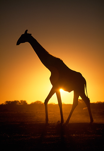 AFW 09 MH0040 01 © Kimball Stock Silhouette Of Masai Giraffe Walking On Savanna At Sunset