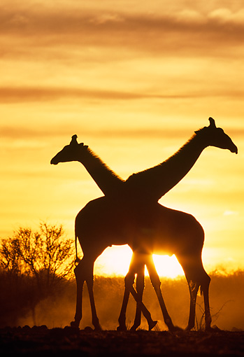 AFW 09 MH0041 01 © Kimball Stock Silhouette Of Two Masai Giraffes Walking On Savanna At Sunset