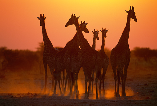 AFW 09 MH0042 01 © Kimball Stock Silhouette Of Group Of Masai Giraffes Standing On Savanna At Sunset