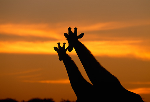 AFW 09 MH0043 01 © Kimball Stock Silhouette Of Two Masai Giraffes Standing On Savanna At Sunset