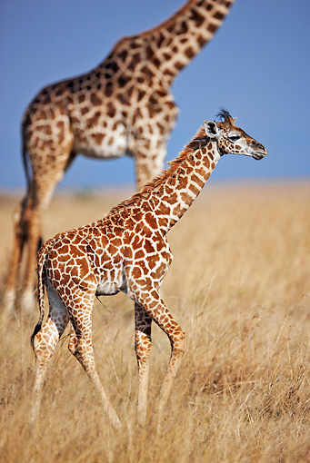 AFW 09 MH0044 01 © Kimball Stock Portrait Of Baby Masai Giraffe Walking Through Dry Grass With Mother