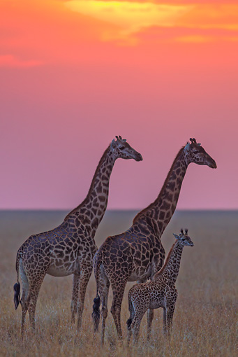AFW 09 MH0045 01 © Kimball Stock Family Of Masai Giraffe Standing On Plains At Sunset