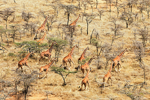 AFW 09 MH0049 01 © Kimball Stock Aerial View Of Reticulated Giraffes Walking Through Plains Kenya