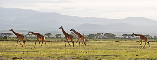 AFW 09 NE0021 01 © Kimball Stock Herd Of Rothschild Giraffes Walking Through Amboseli National Park, Kenya